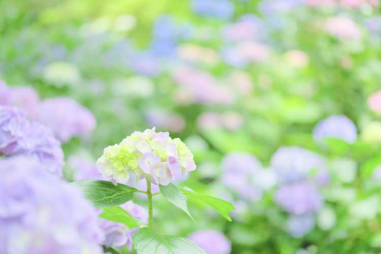 Colorful Scenery Weaved With Hydrangeas Everywhere   Review of Yata-dera Temple