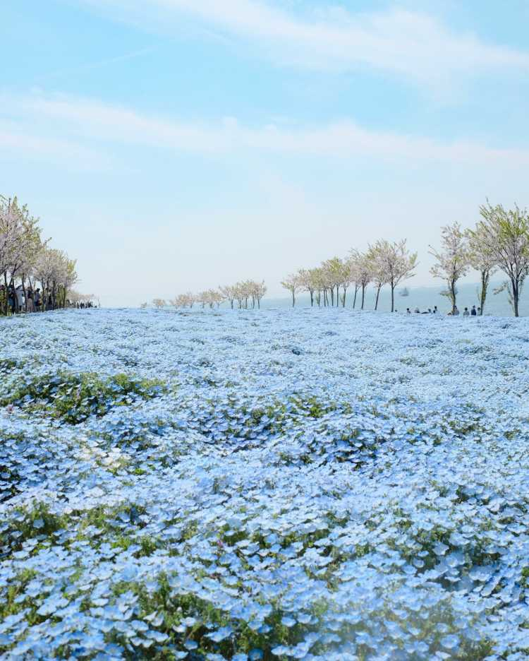 Heavenly Place With 1 Million Nemophila Flowers | Review of Osaka Maishima Seaside Park