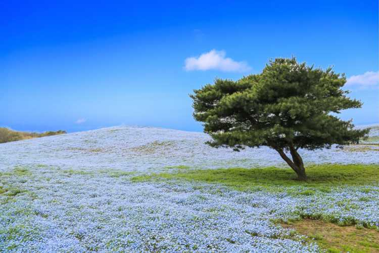 Beautiful Blue Nemophila Bloom As Far As You Can See | Review of HITACHI SEASIDE PARK