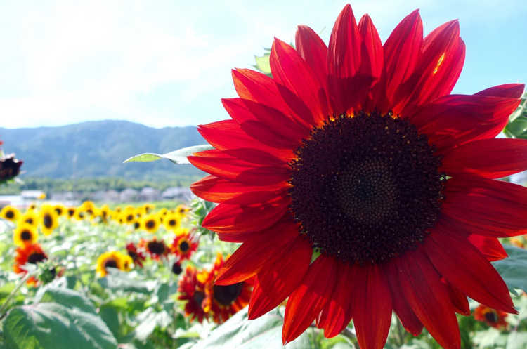 An Autumn Event!  Red & Yellow Sunflowers In The Autumn Sky | Review of Late Sunflower In Oharano