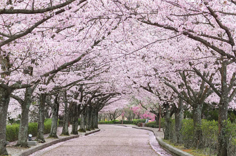 Cherry Blossom Tunnel & Carpet With The Scenic Countryside Of Tamba Area | Review of Nanatani River, Yawagagi-no Michi Street