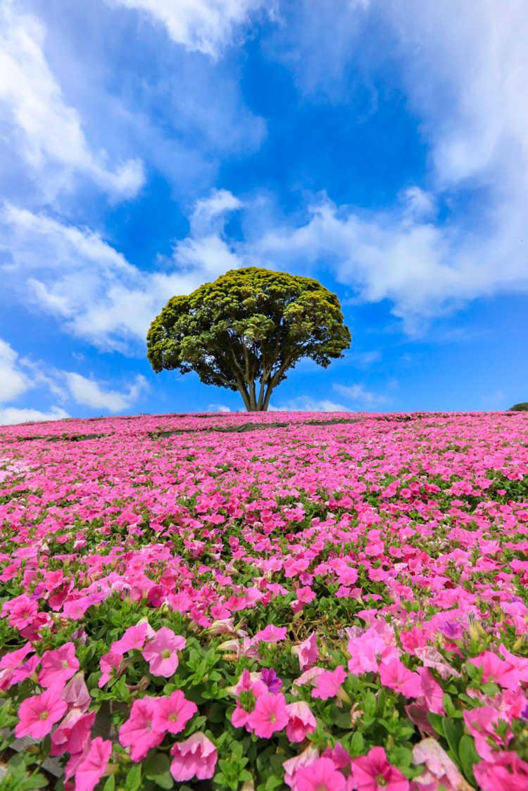 鮮やかな桃色の花畑 | マザー牧場の口コミ