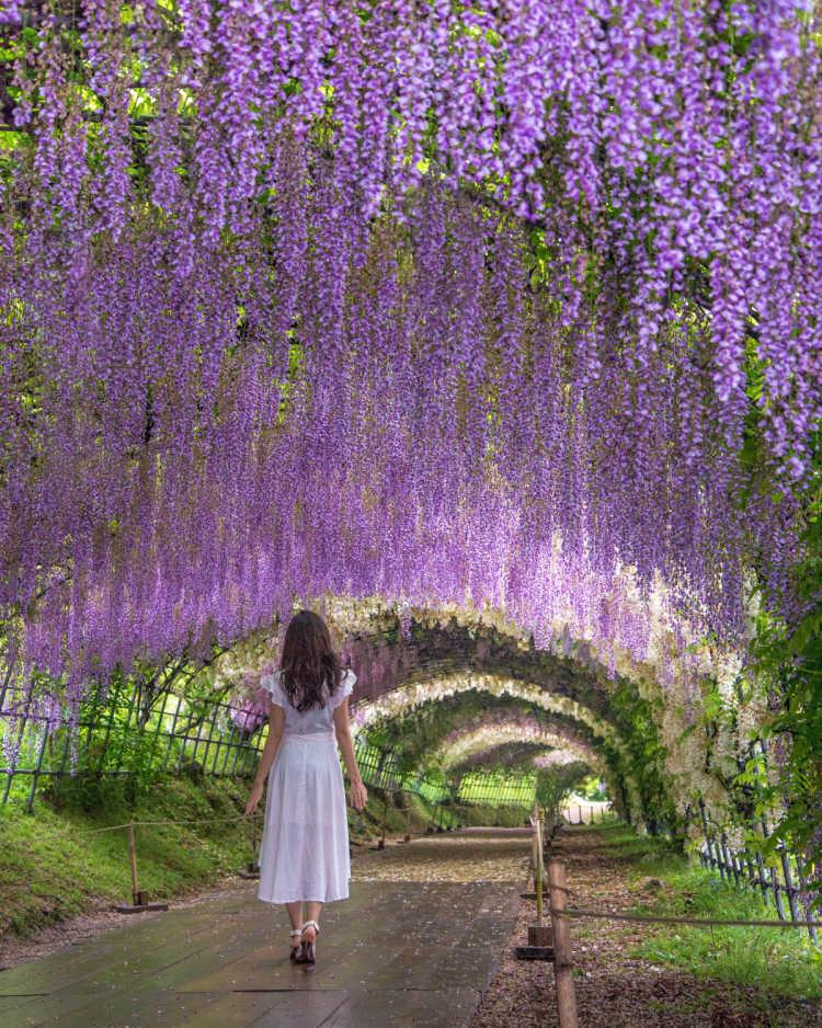 美しい藤のトンネル   河内藤園の口コミ