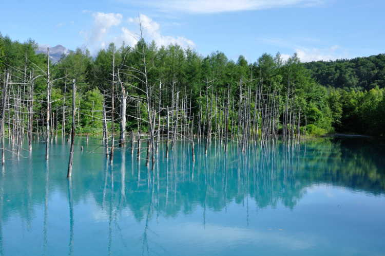 Japanese Larch Trees Standing On The Clear Sky Blue.  A Miracle Pond Like A Gate To A Different Dimension Of Space | Review of Blue Pond
